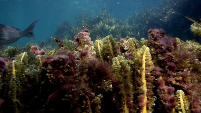 Snapper fish and seaweed underwater video