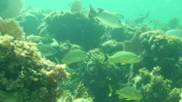 Snapper Fish Underwater video