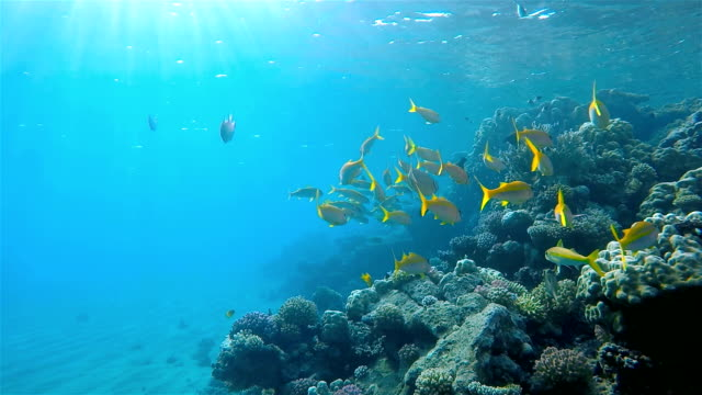 Snapper school of fish on Red Sea / Marsa Alam Snapper fish on Red Sea / Egypt ocean floor stock videos & royalty-free footage