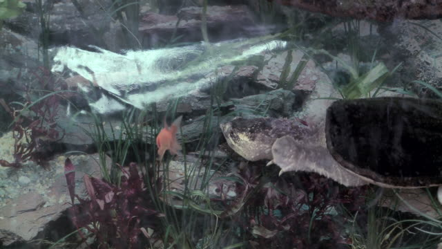 Snapping Turtle 3 Snapping turtle swimming in a tank with a goldfish (lunch). snapping turtle stock videos & royalty-free footage