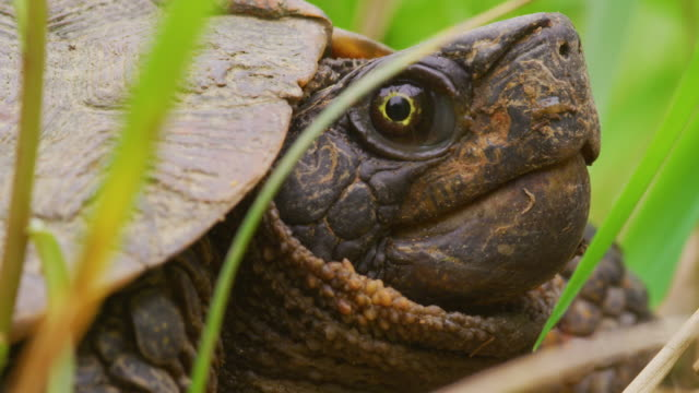 Snapping Turtle in grass close-up, profile A snapping turtle close up profile in the tall green wetland grass with its head partially in shell. The turtle's mouth moves. tortoise stock videos & royalty-free footage