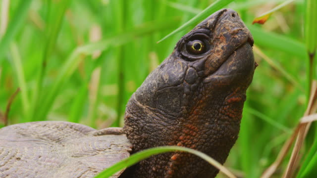 Snapping Turtle in grass with head up A snapping turtle close up in the tall green wetland grass with its head lifted. It's neck moves as it breathes. snapping turtle stock videos & royalty-free footage