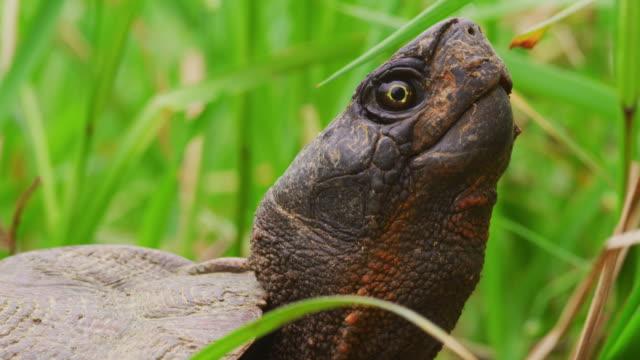 przyciąganie żółwia w trawie z głową do góry - żółw lądowy filmów i materiałów b-roll
