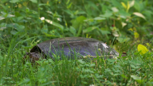 Snapping Turtle looking into camera from grassy area Snapping Turtle sitting in grassy area snapping turtle stock videos & royalty-free footage