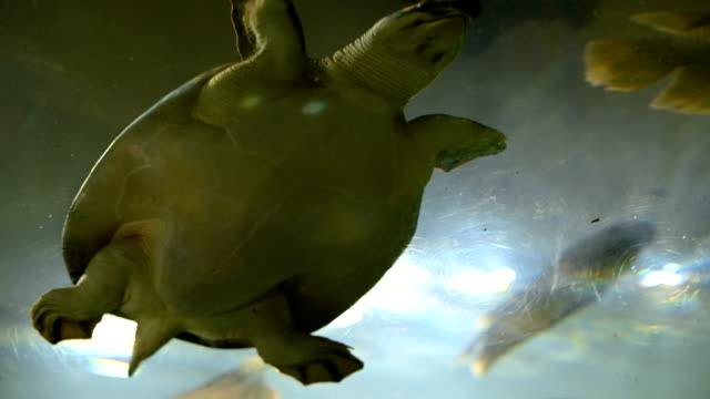 Snapping Turtle or soft-shelled turtle swimming in aquarium. Snapping Turtle or soft-shelled turtle swimming in aquarium. snapping turtle stock videos & royalty-free footage
