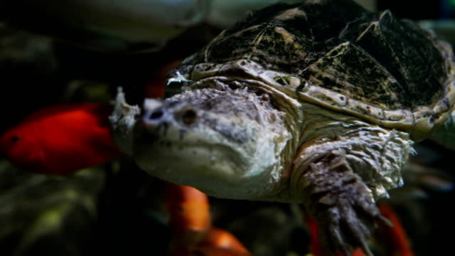 Snapping turtle Snapping turtle snapping turtle stock videos & royalty-free footage