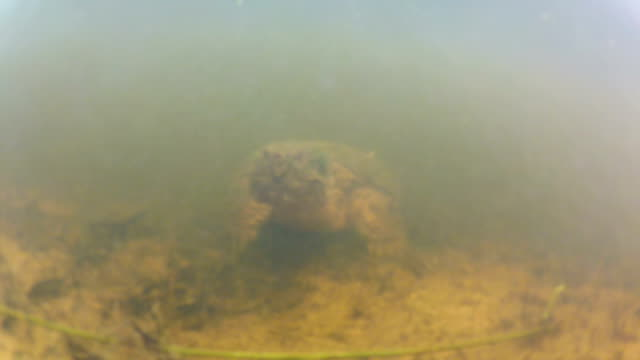 Snapping Turtle Common Snapping turtle in a small pond in the Midwest United States. snapping turtle stock videos & royalty-free footage