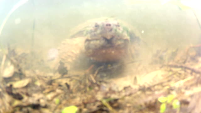 Snapping turtle Common snapping turtle in a pond in midwest United States. snapping turtle stock videos & royalty-free footage