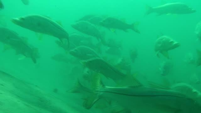 Snook School Underwater video