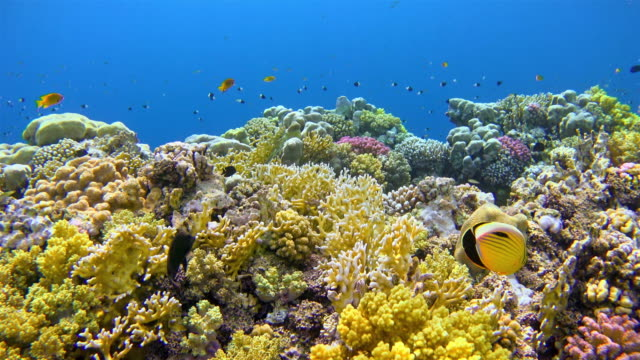 Snorkeling on Shams Alam coral reef / Red Sea Beautiful Coral reef in shallow water on Red Sea / Egypt reef stock videos & royalty-free footage