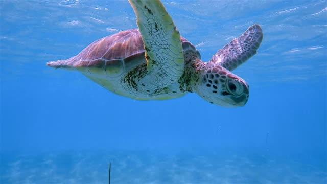 Snorkeling with Green Sea Turtle in Caribbean Sea near Akumal Bay - Riviera Maya / Cozumel , Quintana Roo , Mexico