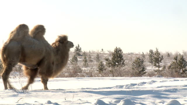 snow and camel video