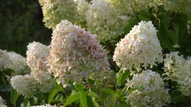 Snow ball hydrangea arborescens moving in the wind