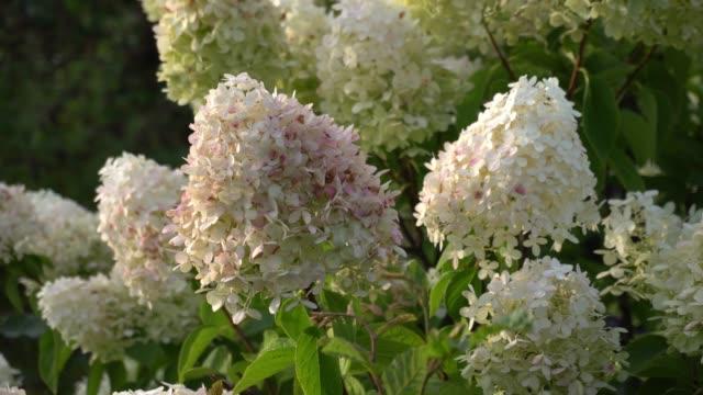 schneeball hortensie arborescens bewegen sich im wind - hortensie stock-videos und b-roll-filmmaterial