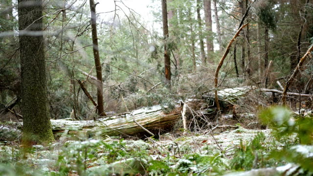 Snow begins to fall over green ferns in Pennsylvania Fores tin late December.  Shot near Cooks Forest PA video