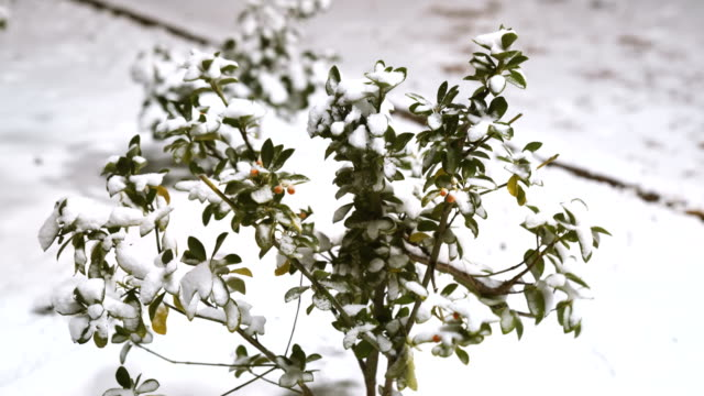 Snow covered plants video