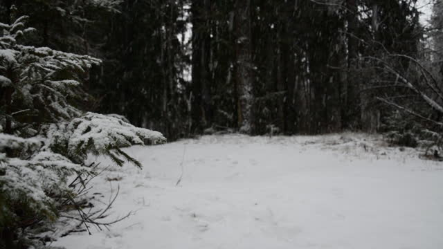 Snow covered spruce tree in snowfall video