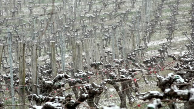 Snow covered vineyards bordeaux vineyards, Langoiran, France