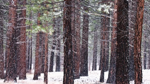 Snow Falling in California Sequoia Forest video