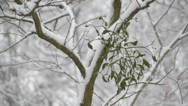 Snow falling on background of mistletoe on tree branch video