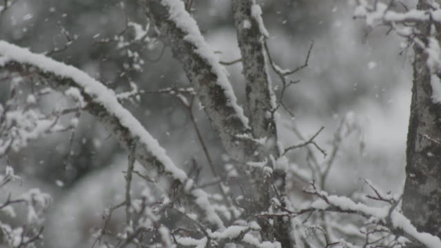 snow falling on branches in the forrest in La Clusaz