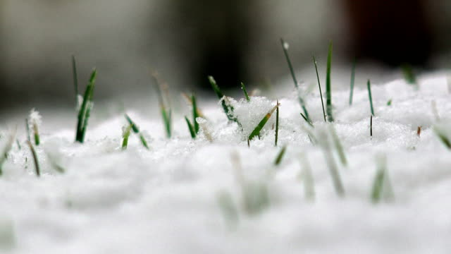 Snow falling on green grass in a meadow in winter with a grass blade stirred and blown by wind, 4K panning shot video