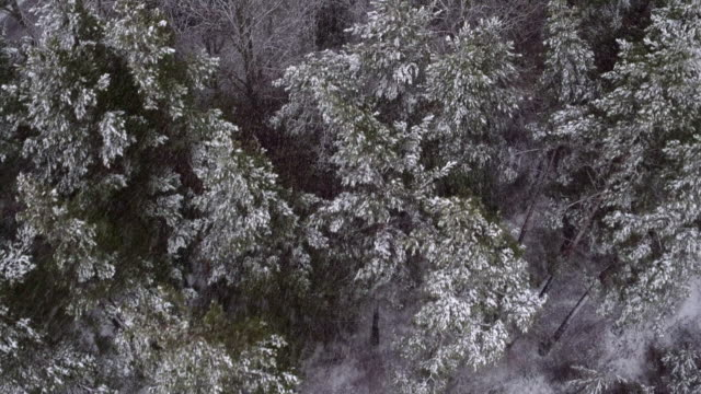 AERIAL: Snow falling on treetops It's snowing, tall trees are covered with snow. A beautiful winter view from above. vinter stock videos & royalty-free footage