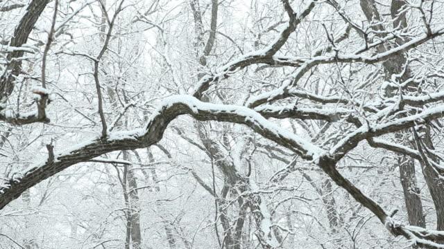 Schnee fallen auf Winter-Oak Tree Branches – Video