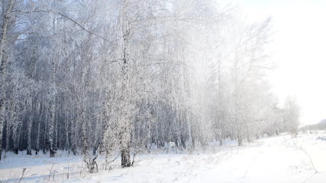vídeos de stock, filmes e b-roll de a neve cai das árvores em uma floresta do bétula coberta com o hoarfrost do vento - bétula