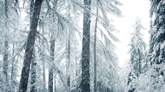 Snow Falls In Winter Forest video