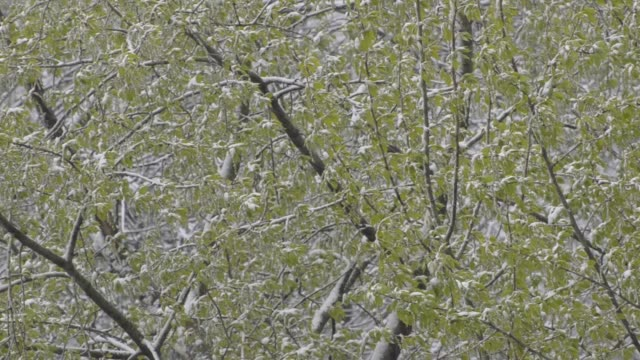 Snow falls on the green branches of a tree