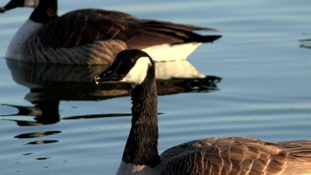 Snow Geese Closeup at Sunset video