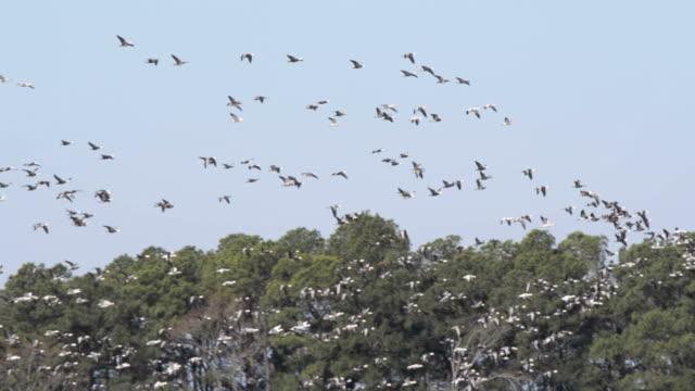 Snow Geese Flock in Flight video