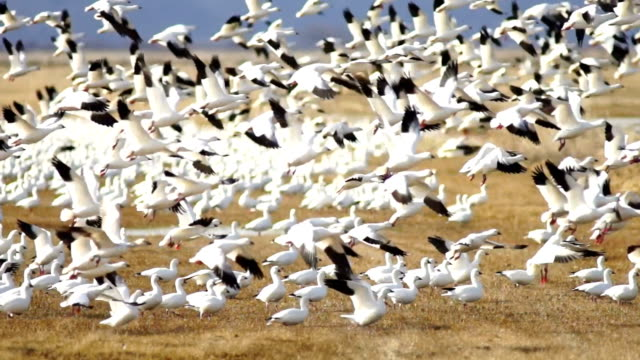 Snow Geese Flock Together Spring Migration Wild Birds Take Flight