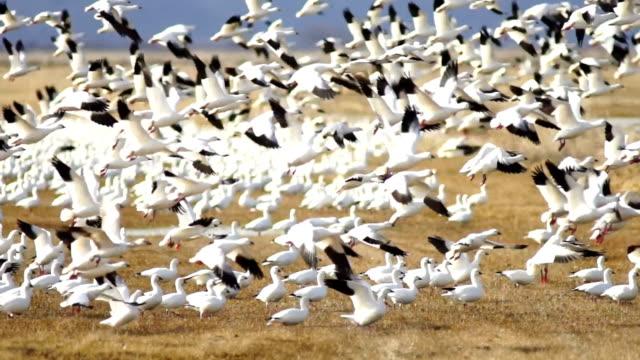 śnieg gęsi stado razem wiosna migracji dzikiego ptactwa wziąć lotu - stado filmów i materiałów b-roll