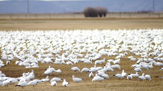 Snow Geese Flock Together Spring Migration Wild Birds video