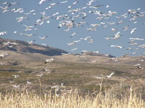NTSC: Snow Geese Flying & Landing video