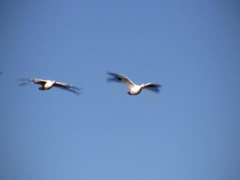 pal: oche delle nevi in volo - uccello acquatico video stock e b–roll