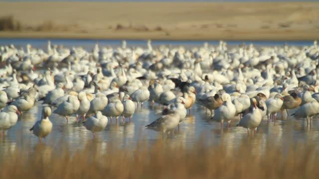 Snow geese video