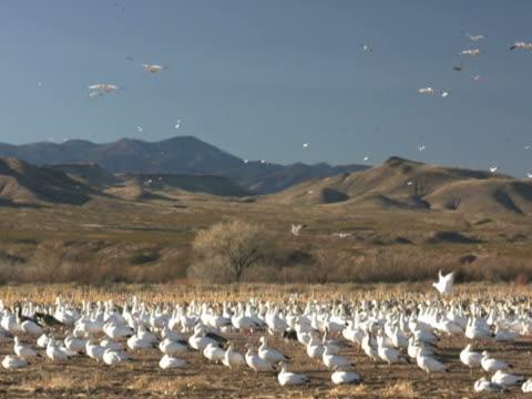 ntsc: oca delle nevi paesaggio - uccello acquatico video stock e b–roll