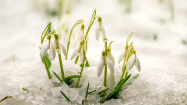 snow is melting and gentle snowdrops blooming fast in early spring - in fiore video stock e b–roll