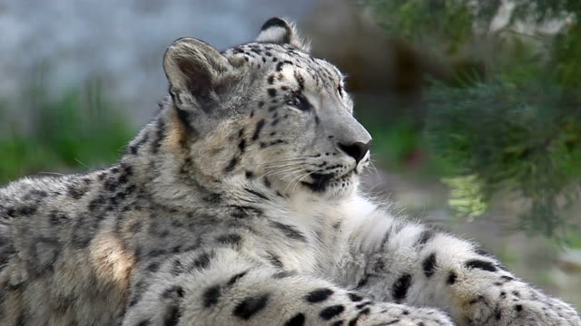 Snow Leopard Cub video