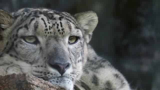 Snow leopard video