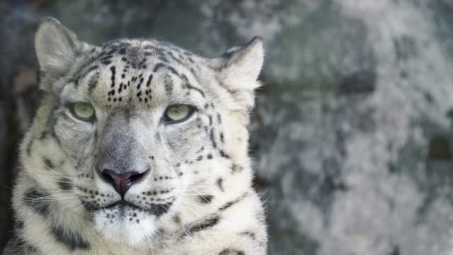 snow leopard - leopard bildbanksvideor och videomaterial från bakom kulisserna