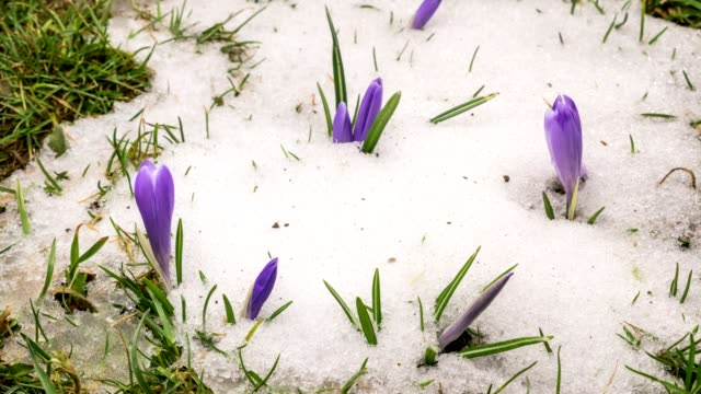 Snow melting and crocus flower blooming in spring Time lapse
