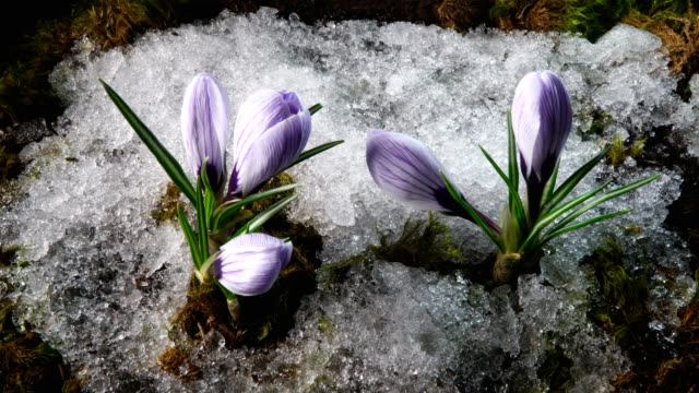 Snow melting and crocus flower blooming in spring video