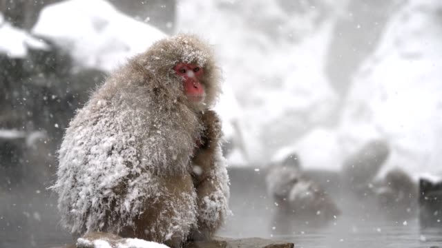 Snow Monkey (Japanese macaques,) In Hot Spring, Nagano, Japan. Japanese Snow monkey Macaque mother hug its baby to prevent cold near hot spring pond of Jigokudani Park at winter, Yamanouchi, Nagano, Japan. Famous landmark to see wildlife. japanese macaque stock videos & royalty-free footage