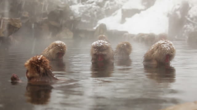 stockvideo's en b-roll-footage met snow monkey (japanese macaque) in hot spring - japan