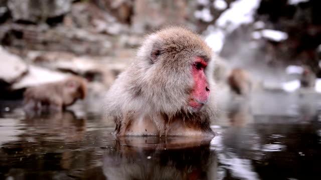 snow monkey (japanese macaque) in hot spring - japon makak maymunu stok videoları ve detay görüntü çekimi