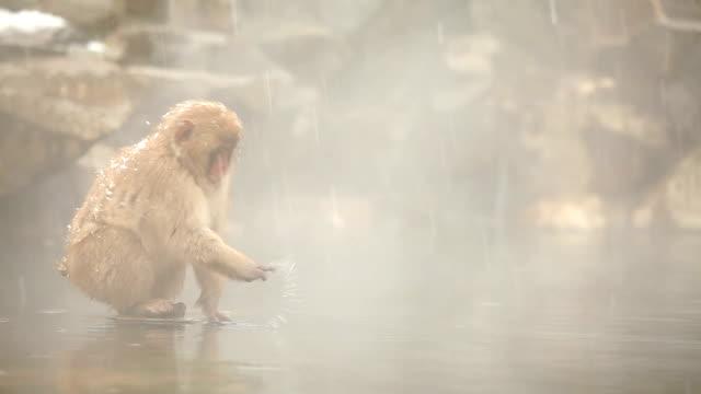 Schnee Affe (Rotgesichtsmakak) in Hot Spring – Video